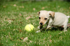 Puppy playing with tennis ball Royalty Free Stock Photo