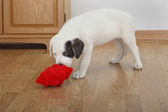 Puppy Playing with a Toy Royalty Free Stock Photo