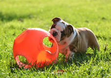 Puppy playing with toy royalty free stock images