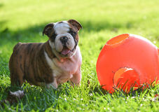 Puppy playing with toy Stock Photos