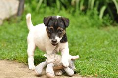 Puppy playing with toy Royalty Free Stock Photography