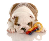Puppy playing with toys Royalty Free Stock Photography