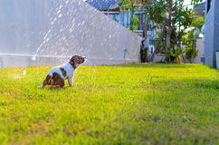 Puppy playing with water on the grass Royalty Free Stock Images