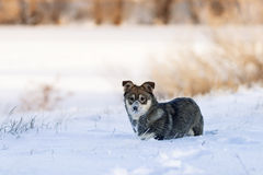 Puppy playing in the white snow stock photography