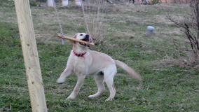 Puppy playing on wooden stick Stock Images