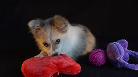 Puppy plays with gifts for Valentine`s day. Puppy playing with gifts on Valentine`s Day. Black background stock video