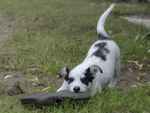 Puppy plays. Little cute puppy plays with a toy Royalty Free Stock Image