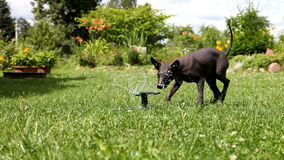 Puppy plays with the water sprinkler stock footage