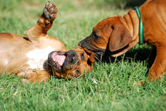 Puppy playtime. Two beautiful little Rhodesian Ridgeback hound dog puppies with cute expression in their faces having fun by playing in the backyard outdoors Royalty Free Stock Photography