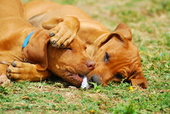 Puppy playtime. Two cute Rhodesian Ridgeback hound dog puppies playing together with a piece of cardboard in the backyard outdoors Stock Photo
