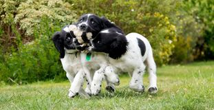 Puppy playtime, three sisters play with a broken toy. royalty free stock photography