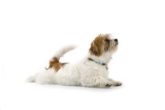 Puppy Pleasing. Puppy dog isolated on white background appears eager to please Royalty Free Stock Photo