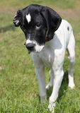 Puppy of pointer (hunter dog) stock photography
