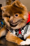Puppy Pom. Pomeranian Puppy with Christmas sweater, on top of the table and shy Stock Photos