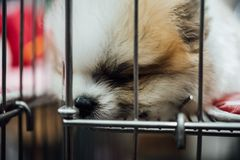 Puppy pomeranian breed in cage dog with sadness. Puppy pomeranian breed so cute sleeping alone in cage dog with sadness and lonely in eye Royalty Free Stock Image