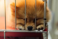 Puppy pomeranian breed in cage dog with sadness. Puppy pomeranian breed so cute sleeping alone in cage dog with sadness and lonely in eye Royalty Free Stock Images