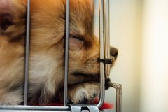 Puppy pomeranian breed in cage dog with sadness. Puppy pomeranian breed so cute sleeping alone in cage dog with sadness and lonely in eye Royalty Free Stock Photo