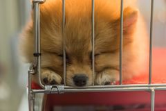 Puppy pomeranian breed in cage dog with sadness. Puppy pomeranian breed so cute sleeping alone in cage dog with sadness and lonely in eye Royalty Free Stock Photos