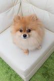 Puppy pomeranian dog cute pets sitting on white sofa Royalty Free Stock Photo