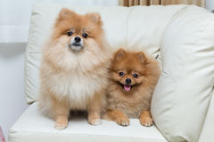 Puppy pomeranian dog cute pets sitting. On white sofa furniture royalty free stock photo