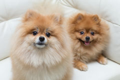 Puppy pomeranian dog cute pets sitting. On white sofa furniture stock photos