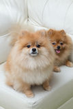 Puppy pomeranian dog cute pets sitting on white sofa Stock Photos