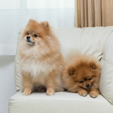 Puppy pomeranian dog cute pets sitting on white sofa. Furniture stock photos