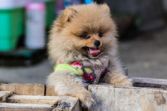 Puppy Pomeranian garb Royalty Free Stock Image