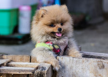 Puppy Pomeranian garb Stock Images