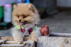 Puppy Pomeranian garb Royalty Free Stock Images