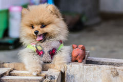 Puppy Pomeranian garb Stock Photos