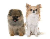 Puppy pomeranian spitz and chihuahua Royalty Free Stock Image