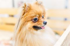 Puppy of Pomeranian Spitz dog standing in wooden box and curious looking away. Cute happy portrait close-up with open mouth. Royalty Free Stock Photography