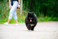 Puppy Pomeranian Spitz with its owner. Young energetic dog on a walk. Whiskers, portrait, closeup. Puppy Pomeranian Spitz with its owner. A young energetic dog stock photography