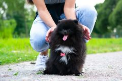 Puppy Pomeranian Spitz with its owner. Young energetic dog on a walk. Whiskers, portrait, closeup. Puppy Pomeranian Spitz with its owner. A young energetic dog royalty free stock photography