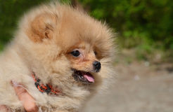 Puppy of Pomeranian Spitz Royalty Free Stock Photo
