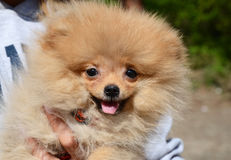 Puppy of Pomeranian Spitz Royalty Free Stock Images