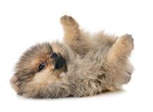 Puppy pomeranian in studio royalty free stock photo
