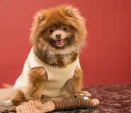Puppy pomeranian. Pomeranian puppy with sweater and winter clothes Royalty Free Stock Photography