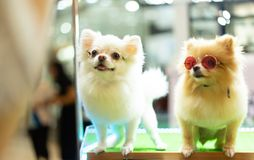 Puppy Pomeranian wear fashion glasses with bokeh background. royalty free stock photography