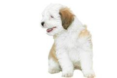 Puppy poodle Royalty Free Stock Photography