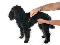 Puppy poodle and brush Stock Photos