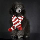 Puppy Poodle in a dark photo studio with an  chrismas scarf. Puppy Poodle in a dark photo studio with chrismas scarf Royalty Free Stock Photo