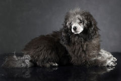 Puppy Poodle lying on the dark photo studio. Puppy Poodle lying on  dark photo studio Royalty Free Stock Images