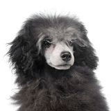 Puppy Poodle portrait in a white background studio. Puppy Poodle portrait in white background studio Royalty Free Stock Image
