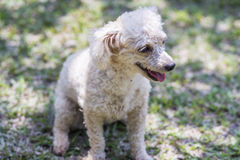 Puppy Poodle Royalty Free Stock Image