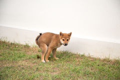 Puppy poop. Shiba Inu puppy pooping on the grass Royalty Free Stock Image