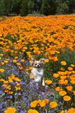 The puppy in the poppies Royalty Free Stock Photos