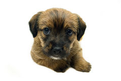 Puppy Portrait Royalty Free Stock Photo
