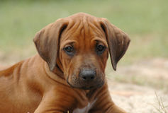 Puppy portrait. Cute portrait of a young little red wheaten Rhodesian Ridgeback dog puppy facing the other puppies of the litter. This baby is very cute Stock Photo
